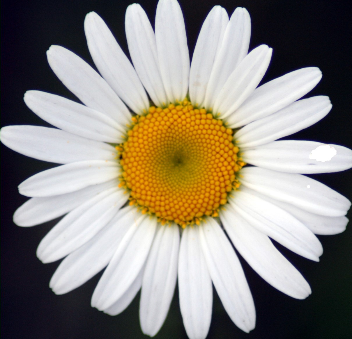 He loves me he loves me not good better best love we all know of the game taking a daisy and plucking the petals one by one saying he loves me then he loves me not with the alternating petals izmirmasajfo Gallery